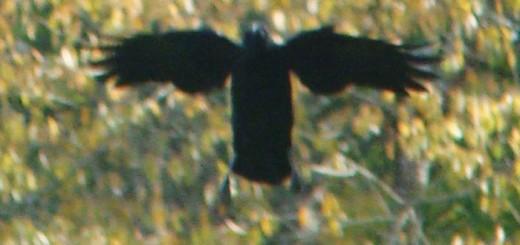 crows-in-flight2