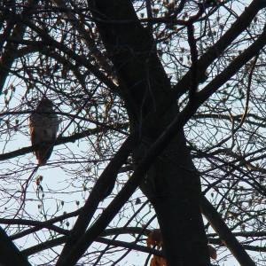 A Good View of an Immature Hawk