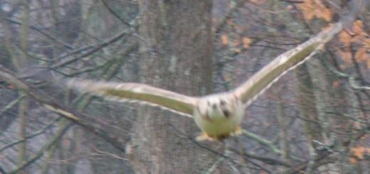 redtail-hawk-3