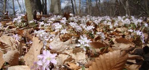 spring-beauties-2013
