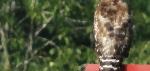 broad-winged-hawk-2013
