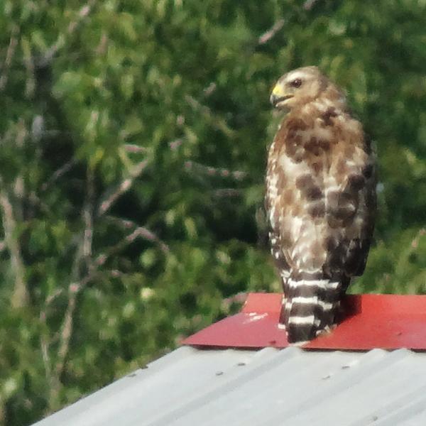 Broad-winged Hawk on the Barn